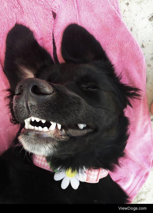 Daisy, the golden Bernese mountain dog