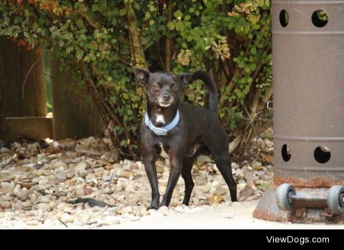 This is Manny. My handsome deer chihuahua who passed recently…