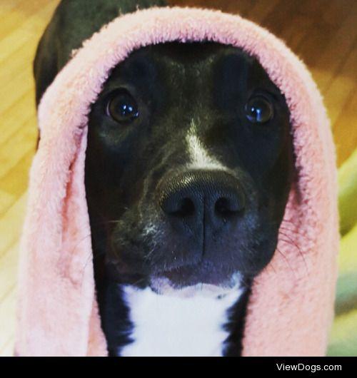 This is Bella, my 1.5 year old black lab/pitbull/hound mix…