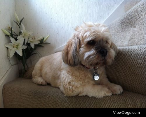 This is Ziggy! He is a 7 year old Lhasa Apso who enjoys long…