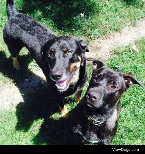 these are my handsome boys, boots the shepherd lab and anakin…