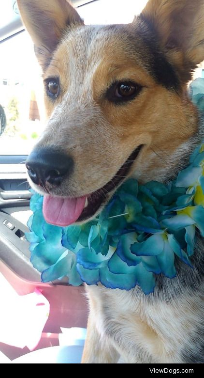 This is Mac! He's a year old and a blue heeler/ border collie…