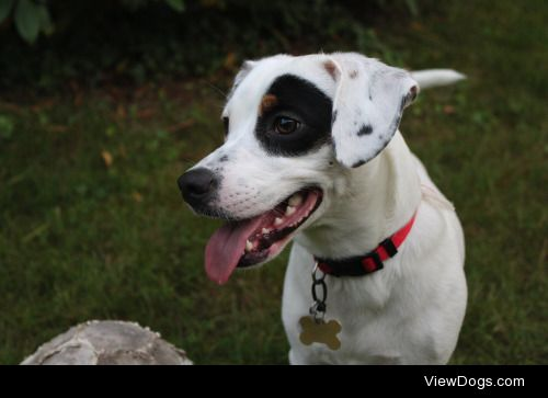 Lucky, 1 ½ years old. Jack Russell mix.