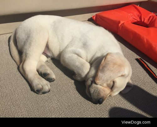 This is Tucker! He is a 7 week old yellow lab! -…