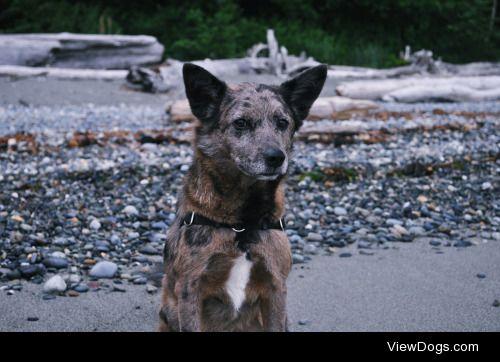 handsomedogs:  Henry, our corgi-catahoula mix