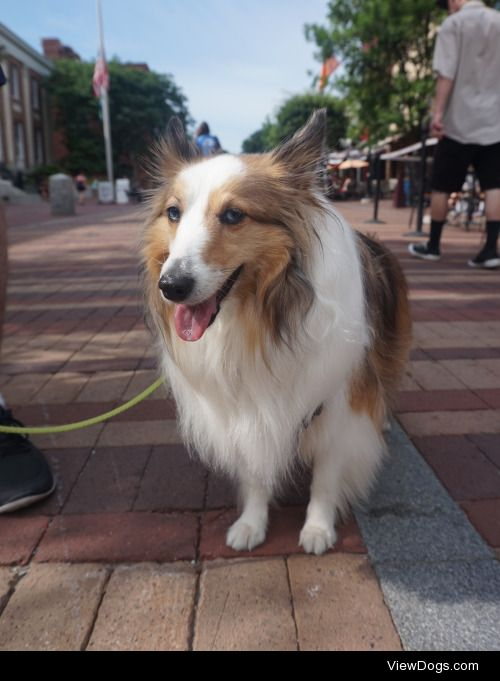 This is Bailey Blu – 4 yr old rescue sheltie, visiting…