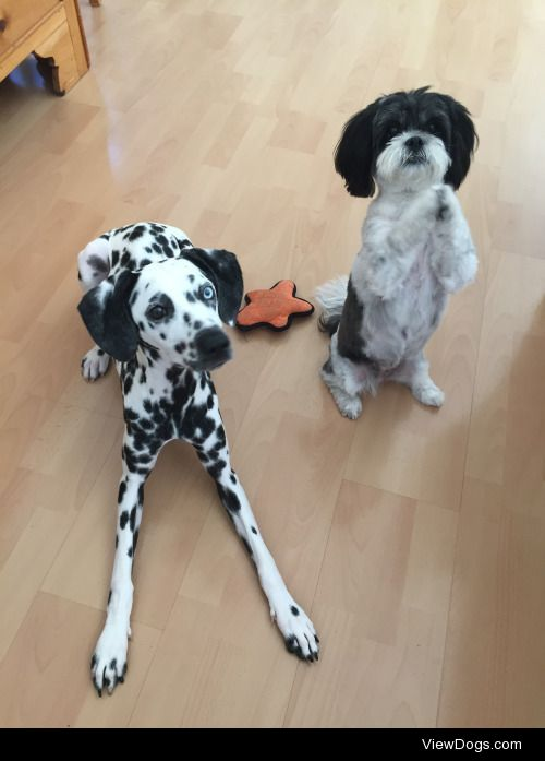9 month old dalmatian 7 year old lhasa apso all they care about:…