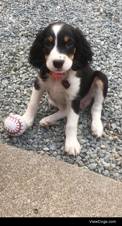 This is Penny! My 10 week old tri colored springer spaniel. She…