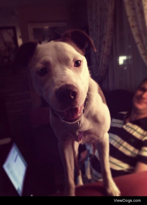 Pepsi, 10 month old pup–50% border collie/50% mutt (some Pitt…