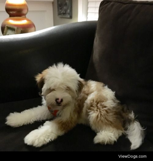 This is my 5 month old Tibetan Terrier puppy, Mochi! She likes…