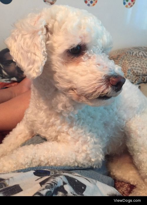 This is Bon-Bon! He's a 6year old bichon/poodle mix. He loves…