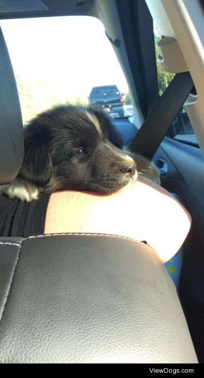 This is Zoey our Australian Shepherd; she's only 9 weeks, but…