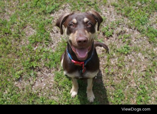 This is Bentley. He is a Weimaraner/lab mix. He is 9 months old…