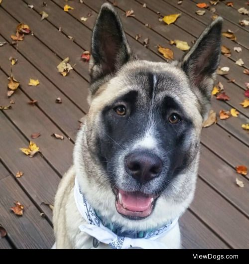 This is Mika! She's a 10 month old Akita and just the sweetest…