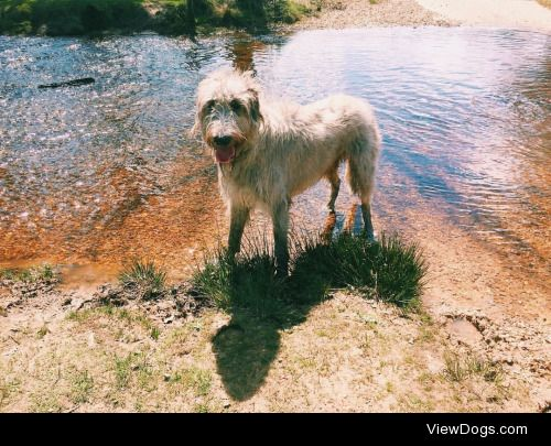 This is Rupert our Irish Wolfhound. He loves walks in the forest…