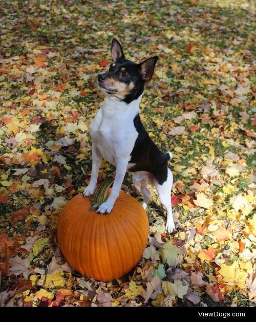 growingupcorgi:  The most important pumpkin boy