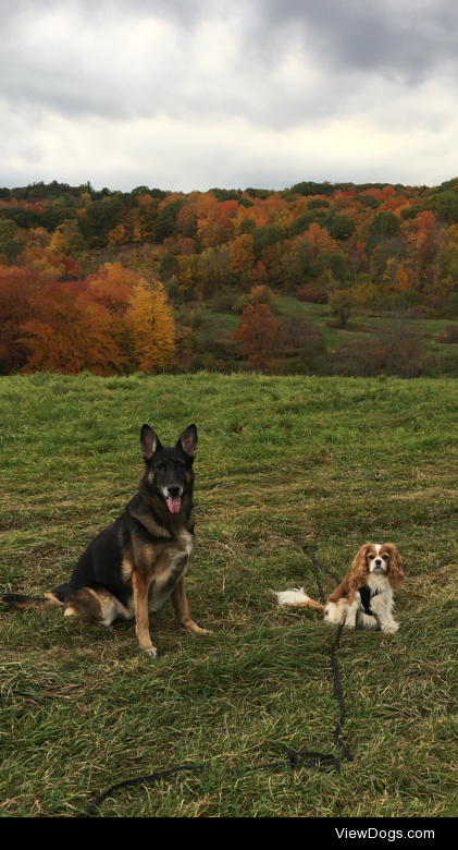 Navi and Ludo are enjoying the fall weather in Massachusetts.