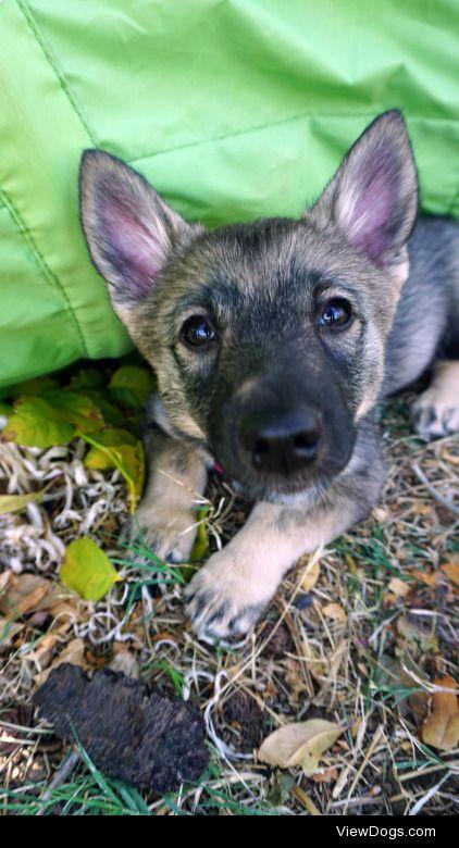 threestubbornvallhunds:  Puppy boops!♥