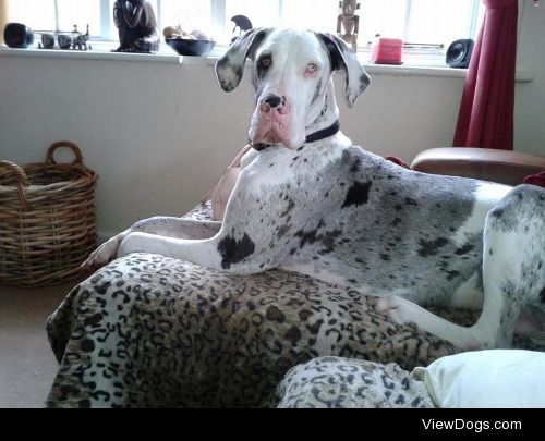 This is Nelson my Harlequin  Merle Great Dane, he is my little…