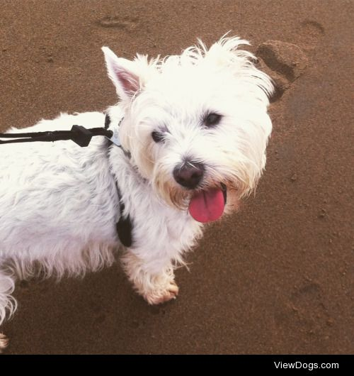 my lovely Westie boy Samson! this was his first trip to the…