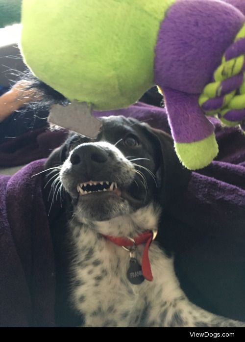Nothing like puppy fangs for #barktober