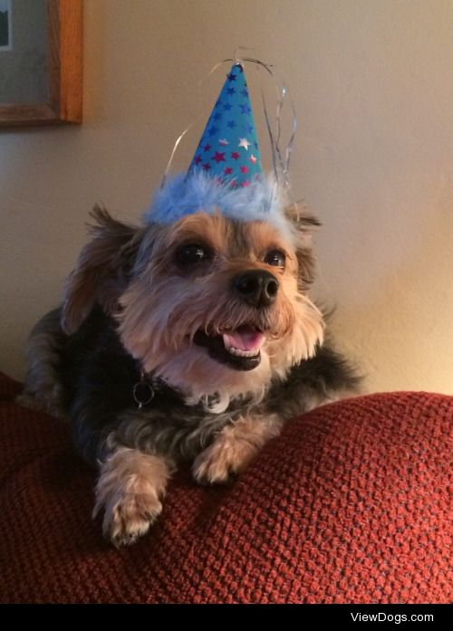 Beau the yorkipoo turned 10 today!