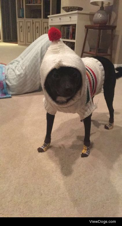 this is my child benito he's a sassy chihuahua italian greyhound…
