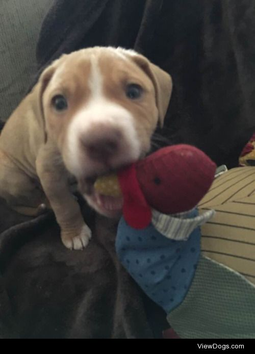 Our 8-week-old pit bull/lab mix who we've been fostering for the…