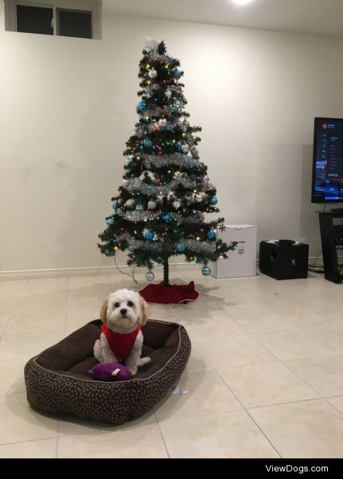 This is Tofu. He's a 1 years old Havanese, Shih-Tzu mix from…