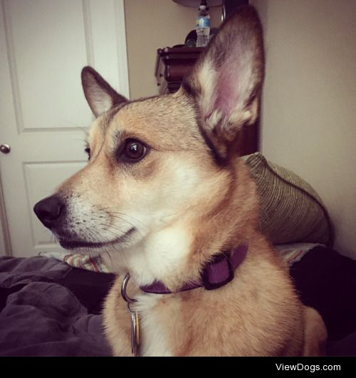 My girl, Beca. She's a five-year-old Corgi mix, a rescue pup,…