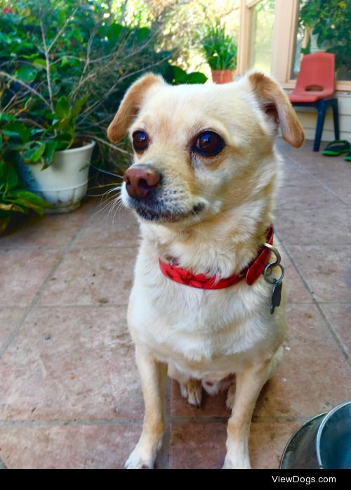 This is my pupper, Suki. He's a Jack Russell/Chihuahua mix and…