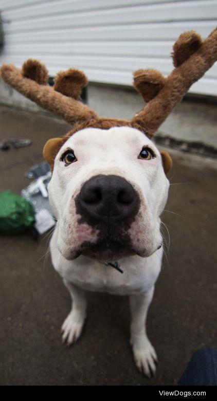 swizzymonster:  Much reindeer. Such spirit. Wow