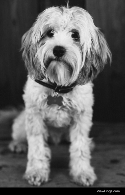 This is Scout the 8-month old Cavachon