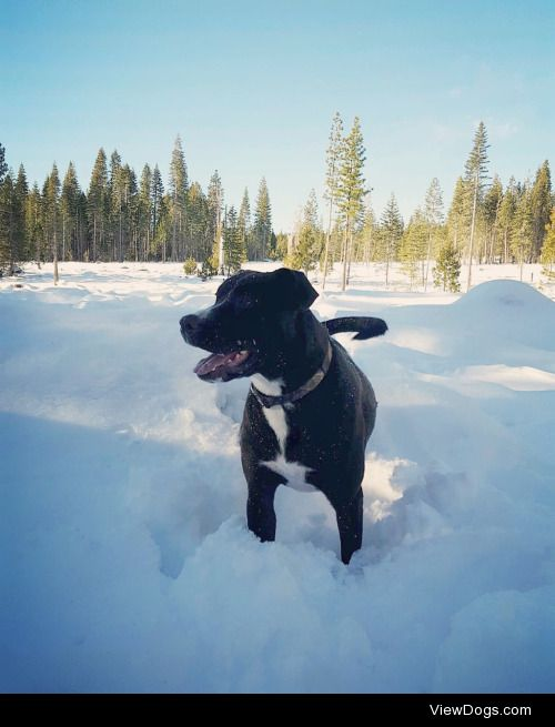 Ares loves Christmas tree hunting and playing in the snow!…
