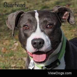 This handsome boy is Gearhead, a 5-or-so year old pit mix…