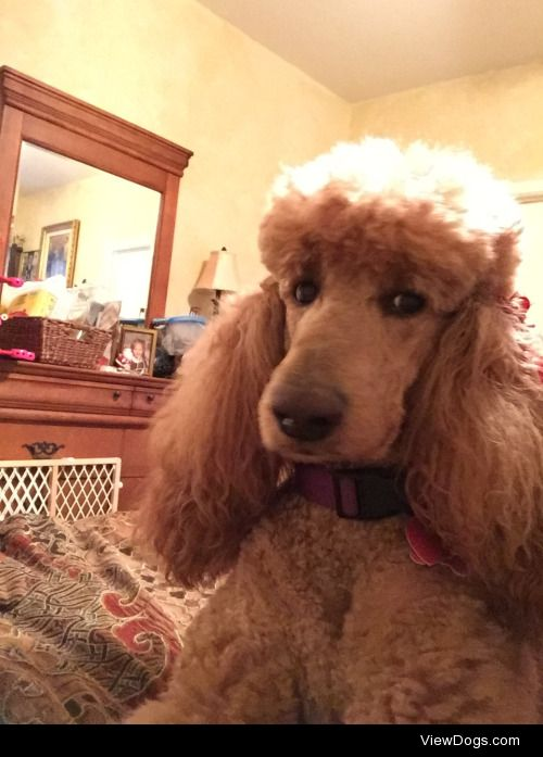 This is Scarlett, a standard poodle. She's a little judgmental…