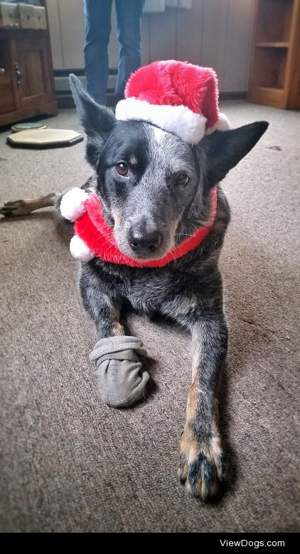 Merry Christmas from Jake the 10yo blue heeler/aussie mix!