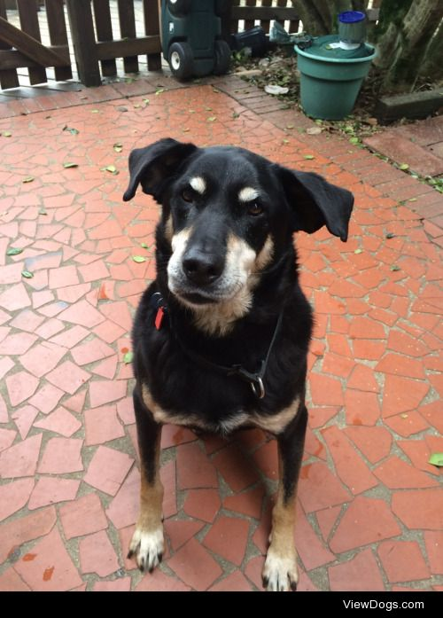 This is Van, a 13 ½ year old lab/rott mix.His face and feet used…