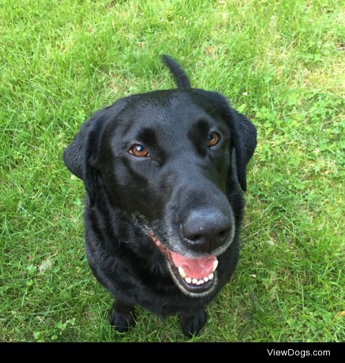 This is Zeke, he's a 5 year old black lab. He likes long naps on…