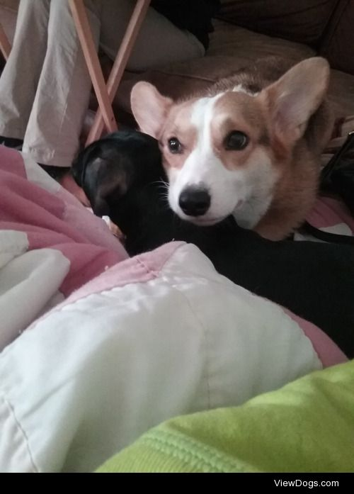 Tilly, a 5 year old Pembroke Welsh Corgi, and Leia, a 1 year old…