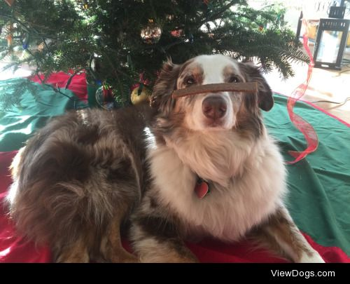 This is my Aussie, Willow. She's 11 years old and is sitting at…