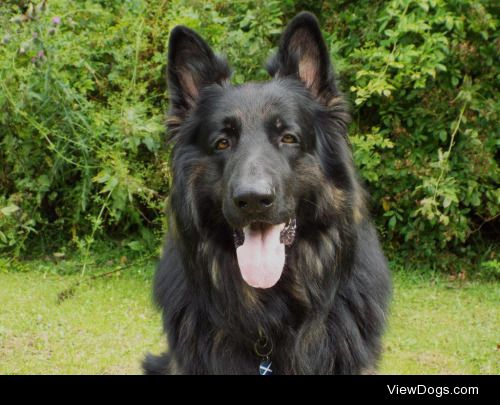 Wallace; long-haired German Shepherd and champion snuggler -…