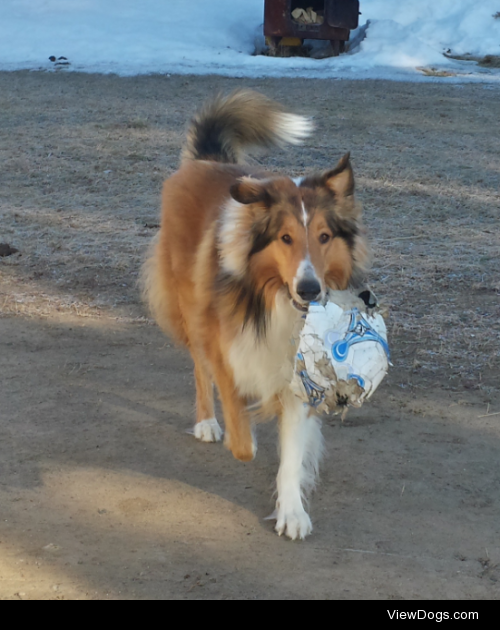 This is Shawnee, my 4 year old ruff collie. His favorite things…