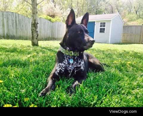 This is Dude. He is believed to be an Australian Cattle dog…