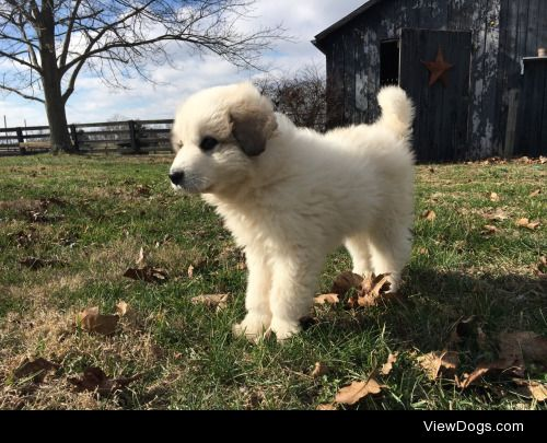 This is Garth the Great Pyrenees, today he turned two months…