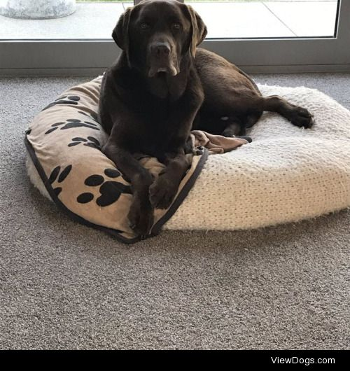 Here's our six year old chocolate Labrador, Grace. She gonna try…