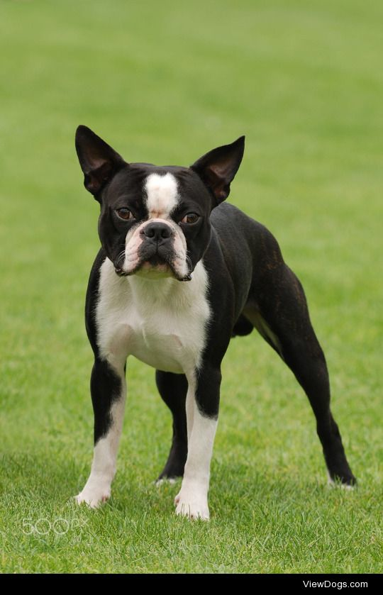 Do you have any particular opinion on Boston Terriers? And also, what breeds did they come from? I've heard that they weren't really bred for any purpose. I didn't even know that happened, I thought all breed were bred with specific purposes in mind.