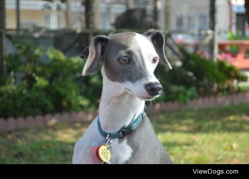 This is Harvey, my 6-year old male Italian Greyhound. I love him…