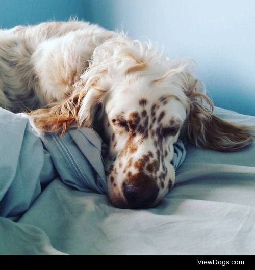 This is my beautiful Rosie! She is an English Setter and is 5…