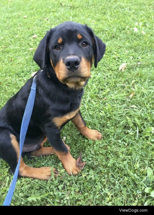 This is Ruin!He is a pure bred Rottweiler who loves to smother…